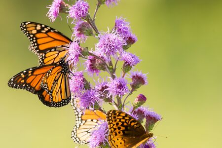 Monarch and Great Spangled butterflies feeding from a tall blazing star wildflower.