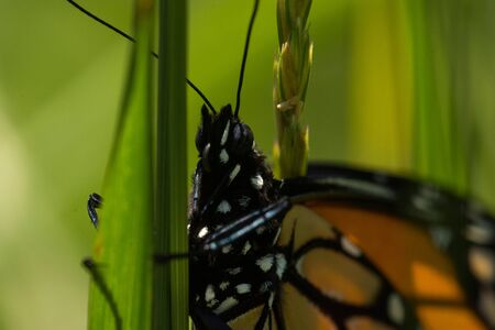 A Monarch Butterfly perched on a piece of grass.