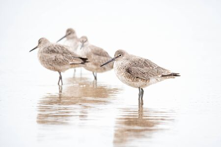 Willets on a beach in Wisconsin during spring migration.