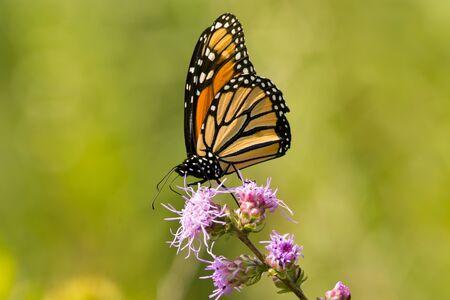 Monarch butterfly feeding from a tall blazing star wildflower. Фото со стока