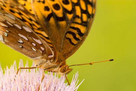 Great Spangled Fritillary feeding from thistle.