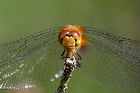 A close up photo of a meadowhawk dragonfly in Wisconsin. Фото со стока