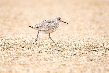 Willet on a beach in Wisconsin during spring migration.