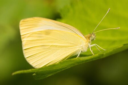 Cabbage White butterfly perched on a leaf.