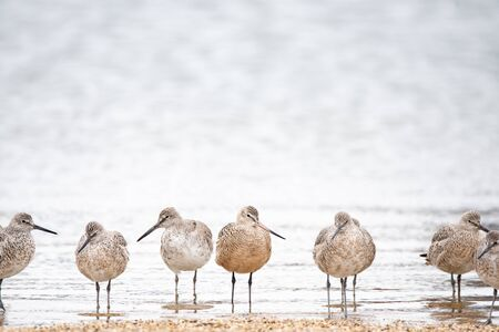 Willets and Marbled Godwit on a beach in Wisconsin during spring migration.