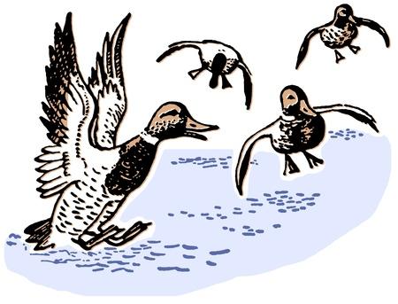 midair:  Ducks landing in pond