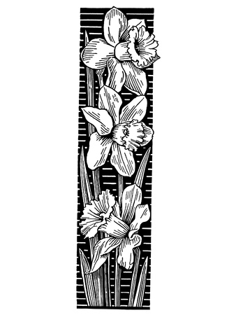 A black and white version of a cluster of Daffodils photo