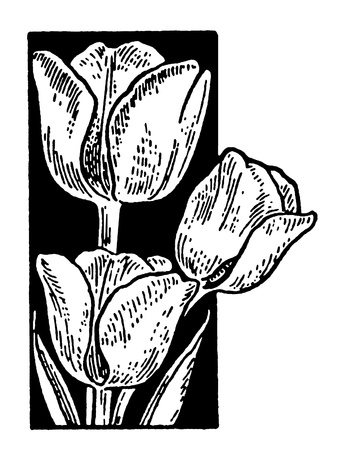 A black and white version of a vintage print of Tulips Фото со стока