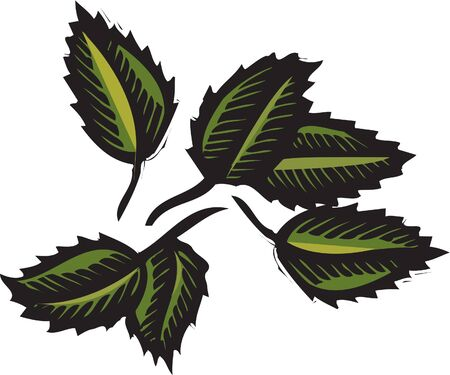 scratchboard: Mint leaves