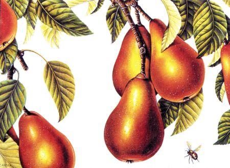 imagezoo: Illustration of pears on the vine Stock Photo