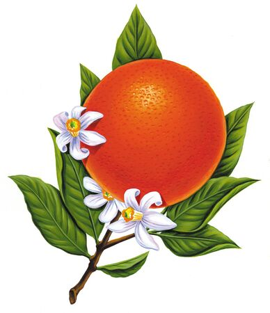 Illustration of an orange on the vine Stock Illustration - 15209324