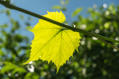 The sun is shining through the vine leaf . Background for design.