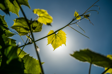 The sun is shining through the leaves of vine. Background for design. Archivio Fotografico