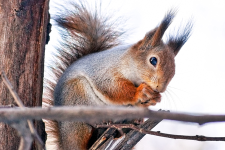 Cute red squirrel (Sciurus Vulgaris) in the forest