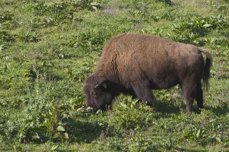 plains indian: A large bison feeds on grassland.