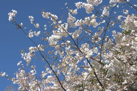 A cherry tree in spring blossom.