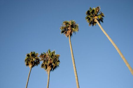A group of tall palm trees