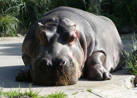 gravedad: Un gigante hipop�tamo toma un descanso de la gravedad.