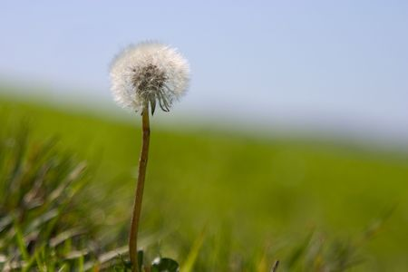 A lone Dandelion waits to have its hair blown.