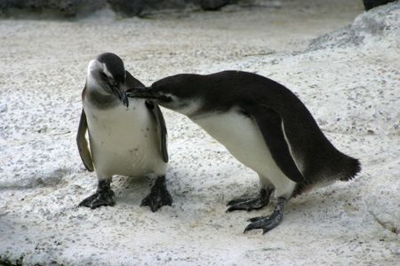 Two penguins snuggle.