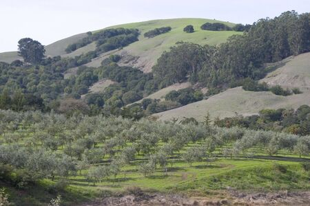 growers: A beautiful grove of northern Californian olive trees.  Stock Photo