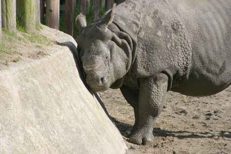 A rhino at the zoo scratches an itch by using the side of its pen.