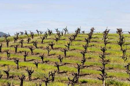 A vineyard in Californias wine country. Stock Photo