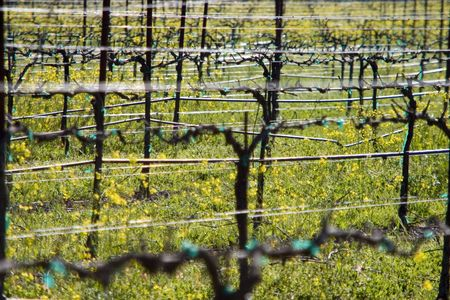 A vineyard in Californias wine country. Stok Fotoğraf