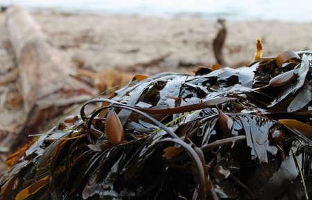 alga marina: quelpo Foto de archivo