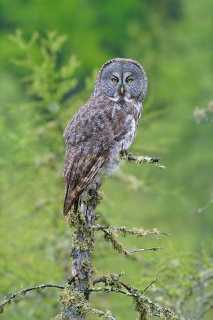 Great Gray Owl hunting midday in drizzle  版權商用圖片