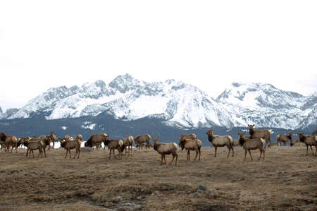 A herd of elk come down from the mountainss for spring grazing. photo