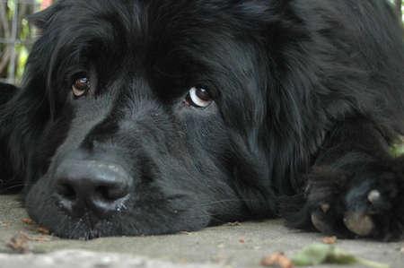cane terranova: Cucciolo occhi.