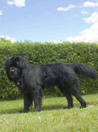 drool: A newfoundland dog in front of a hedge.