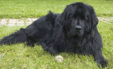 A big black Newfoundland dog lies in the grass.  This breed, known for their water rescue skills, are gentle and kind dogs and make great pets if you have the room. photo