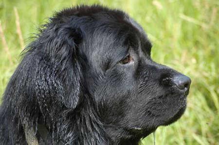 cane terranova: Un cane Terranova di profilo. Le sue orecchie sono bagnati dal nuoto.