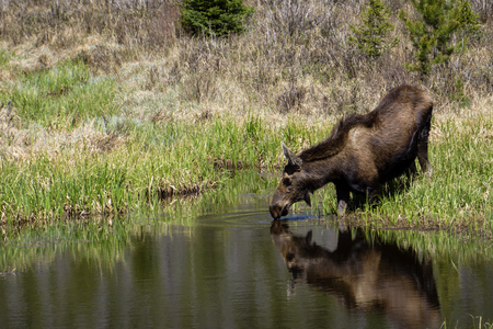 Moose Drinking Water, Rocky Mountain National Park