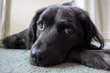 Black dog laying around inside the house.