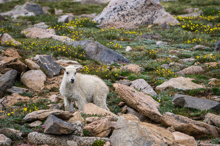 Mount Evans, Colorado.  A Mountain Goat explores the tundra with its family. Stock Photo