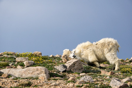 A mountain goat scratches an itch on Mount Evans, Colorado Stock Photo