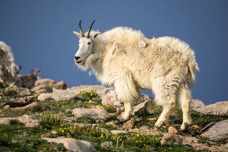 Mountain Goat near the summit of Mount Evans, Colorado.