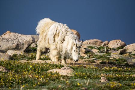 A mountain goat grazes amongst wildflowers on Mount Evans, Colorado.