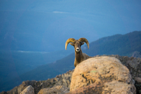 Staring contest with a Rocky Mountain Ram.