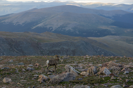 Spotted on Mount Evans, along the highest road in the United States. Stock Photo