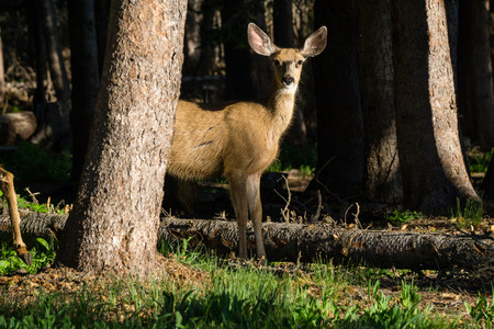 A small mule deer with a tumor on it's face, hiding behind a tree in early morning light.