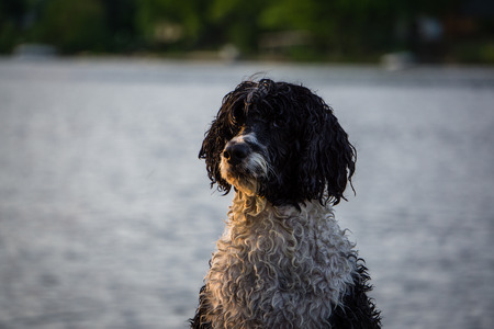 A portuguese water dog smiles for a portrait in front of a lake.
