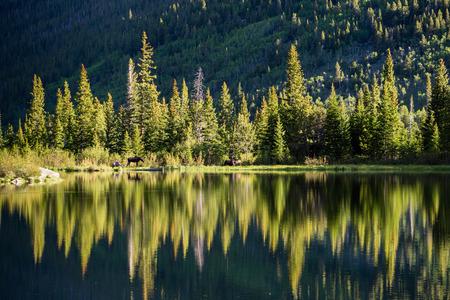 Two Moose graze along the shore of Lost Lake, Nederland, Colorado.