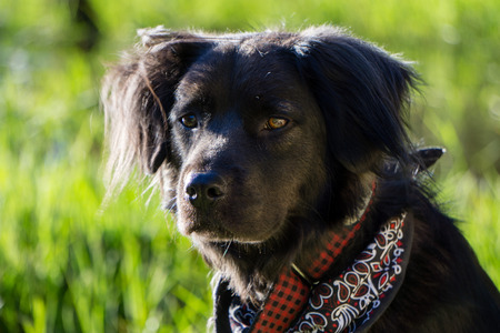 Black dog staring at something in the distance while outside on a walk. Stock Photo