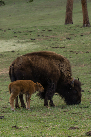 Mother Bison near Denver, Colorado. 版權商用圖片