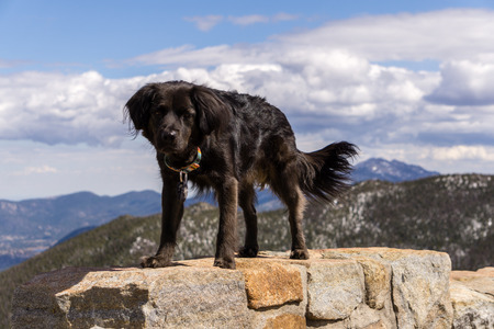 Black dog enjoying the scenery in Rocky Mountain National Park.  Estes Park, Colorado. Stockfoto