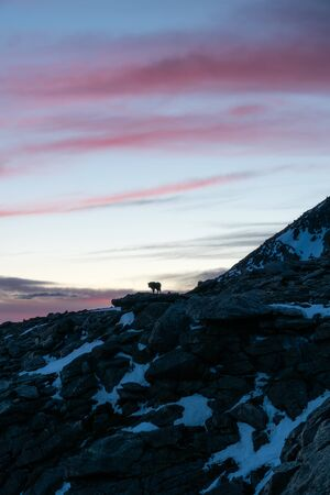 Mountain Goat on Mount Evans, Colorado. Stockfoto - 125225532